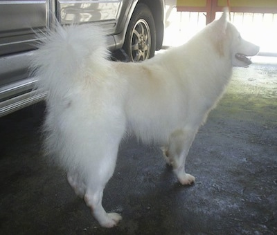 A white with tan Japanese Spitz is standing in a garage next to a vehicle.
