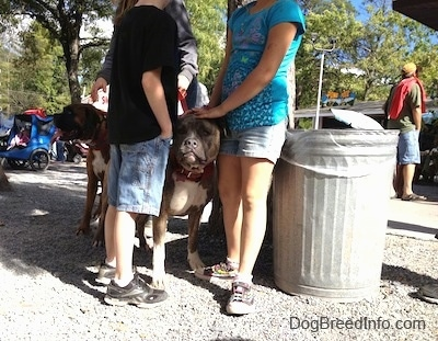 Bruno the Boxer with his tongue out standing in the shade with Spencer the Pit Bull Terrier surrounded by and being pet by people