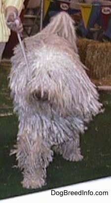 A white corded Komondor is walking across a green surface at a dog show