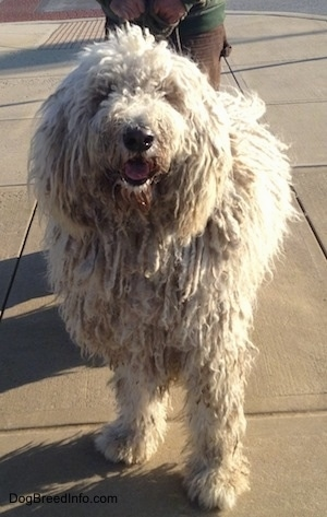 Head on view - A white Corded Komondor is standing on a sidewalk, its mouth is open and tongue is out. There is a person behind it