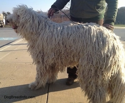 A white Corded Komondor is standing on a sidewalk and looking across the street, its mouth is open and tongue is out. There is a person behind it