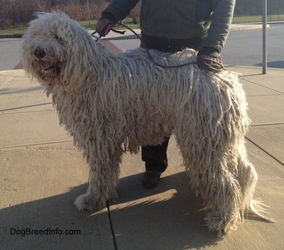 A large white Corded Komondor dog is standing at a corner of a street. There is a person behind it.