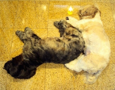 A tan and white Lha-Cocker dog and a black with tan and gray Lha-Cocker are sleeping together like a puzzle piece on a yellow tiled floor.