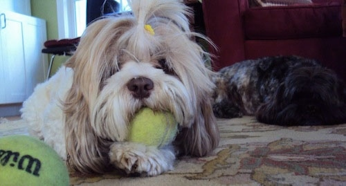 A tan with white Lha-Cocker dog has a yellow barrette in its top knot. It is laying on a rug with a tennis ball in its mouth and there is a second tennis ball in front of it. There is a darker Lha-Cocker dog laying down in the background.