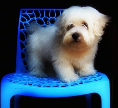 A tan Lhasa Apso is standing in a plastic blue chair looking forward.
