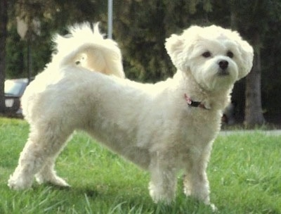 Side view - A white Lhasa-Poo is standing in grass and it is looking to the right of its body.