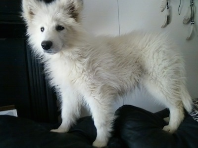 The left side of a white fluffy puppy named snow that is standing on the back black couch. It has a large black nose, perk ears and dark eyes.
