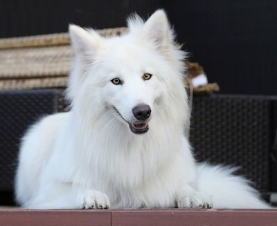 A white fluffy puppy is laying at the top of a porch and its mouth is slightly open. It has thick long fur with golden yellow eyes, a black nose and small perk ears.