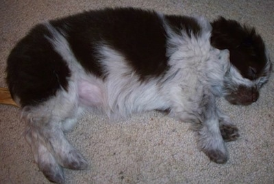 Side view from the top looking down - A fluffy, black and white mixed breed puppy is sleeping on its left side on a carpet.