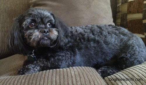 Side view - A wavy-coated, black with grey and tan Peek-a-poo is laying across a tan couch looking to the right.