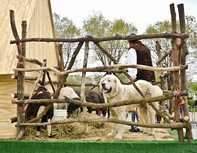 A white Polish Tatra Sheepdog is standing on a platform that is barricaded by a stick fence. There are goats and a person standing in the enclosure.