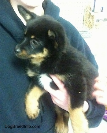 Close up - A black with tan Pomchi puppy is being held against a persons chest and it is looking up and to the left.