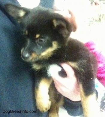 A black with tan and white Pomchi puppy is being held against a persons chest. The puppy is looking down and to the left.