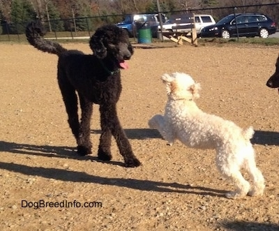 A tall black Poodle is standing on a dirt surface and a smaller white Miniature Poodle is jumping at the black Poodle.