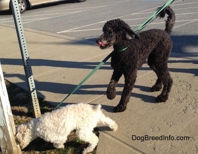 A tall black Standard Poodle is standing on a sidewalk and there is a smaller white Miniature Poodle sniffing the side of a wooden beam.