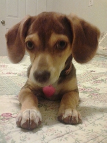 Front view - Chloe the Queen Elizabeth Pocket Beagle puppy laying down on a humans bed looking forward.