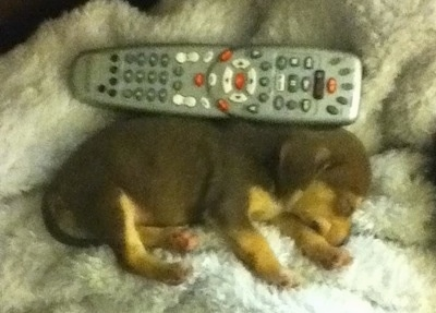 View from above - A brown with tan Queen Elizabeth Pocket Beagle puppy is sleeping on a white fuzzy blanket laying on its left side. There is a Comcast remote behind it and the dog is almost the same size as the remote.