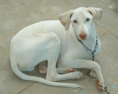 A long legged skinny white Rajapalaym is dog laying on a tiled floor and it is looking up.