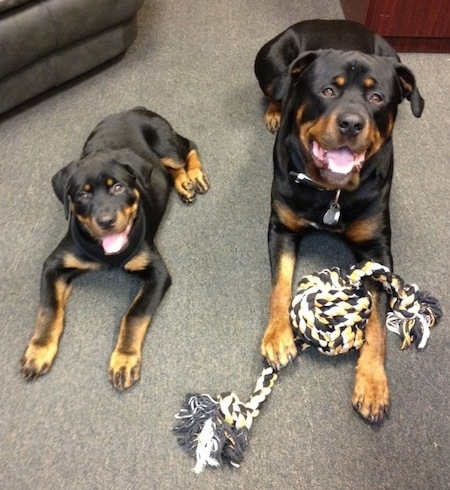 A black with tan Rottweiler is laying on a carpet with a rope toy in between its front paws and to the left of it is a black with tan Rottweiler puppy. They both are looking up and there mouths are open. The dogs look happy.