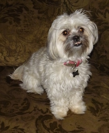 A white with tan Shih-Poo is sitting on a couch, it is looking up and its mouth is slightly open showing its bottom row of teeth due to an underbite.