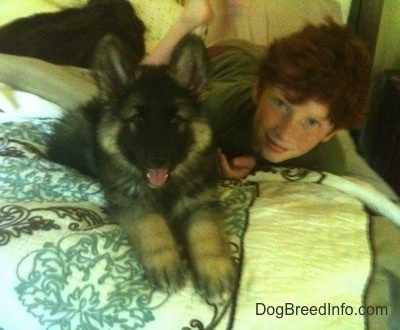 A fluffy black with tan Shiloh Shepherd puppy is laying on a bed and to the right of it is a boy with red hair. The puppys mouth is open and its tongue is sticking out.