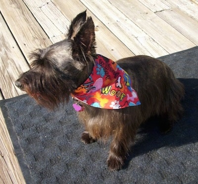 The front left side of a brown Skilky Terrier that is wearing a colorful bandana that says 'woof' printed on it. The dog is sitting on a door mat on a wooden deck in the sun looking to the left. It has large perk ears, its head is shaved short and it has longer hair on its body.
