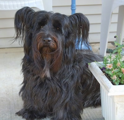 Close up front view - A thick, long-coated, black with brown Skye Terrier dog sitting across a stone porch looking up. The dog's ears are sticking out to the sides with long hair hanging off of them. Its nose is black.