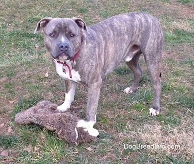 Spencer the Pit Bull Terrier outside standing over a plush toy