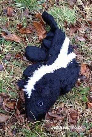 Plush skunk toy laying out in the field