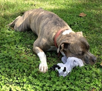 Spencer the Pit Bull Terrier laying in a field with his plush raccoon under his chin