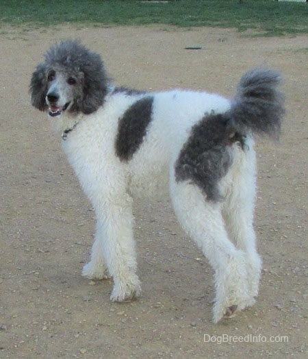 The back left side of a gray and white Standard Poodle dog walking across a dirt surface. It is looking forward, its mouth is open and it looks like it is smiling. It has a thick wavy coat.