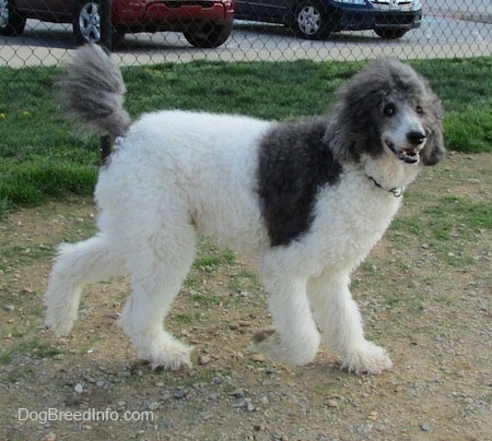 The right side fo a gray and white Standard Poodle dog walking across a dirt surface looking forward and it looks like it is smiling.