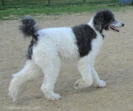 The back right side of a gray and white Standard Poodle dog walking across a dirt surface. Its mouth is open, its tongue is out and it looks like it is smiling.