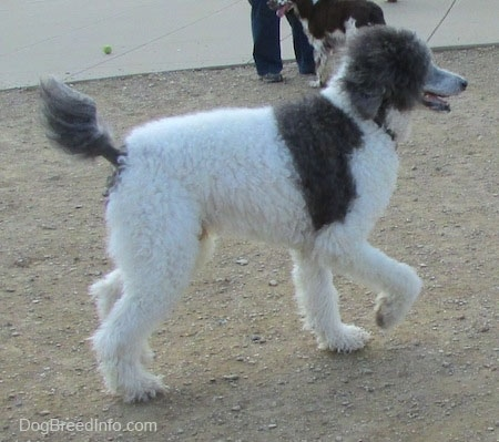 The back right side of a gray and white Standard Poodle that is standing on a dirt surface. Its front right paw is lifted, its mouth is open and its tongue is out.