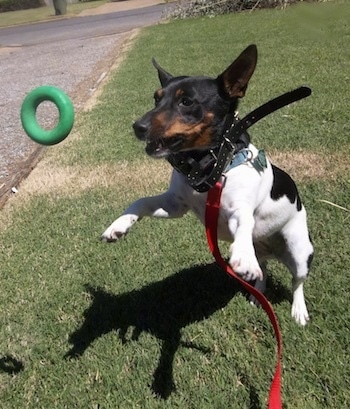 Action shot - A white and black with brown Teddy Roosevelt Terrier is jumping in grass to grab a green donut toy out of the air. The dog has large perk ears and its front paws are off of the ground.