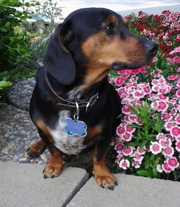 The front of a black, tan with white, short legged, low to the ground dog with a wide chest looking to the right. The dog has a long pointy muzzle and a black nose. It is sitting next to a bed of bright pink flowers.