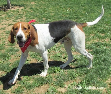The front left side of a tricolor white, brown and black Treeing Walker Coonhound dog walking across a patchy grass surface looking forward wearing a red bandana. The dog has slanty almond shaped eyes and a long tail and drop ears.