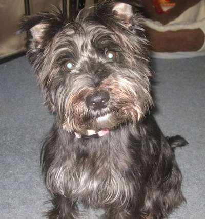 A gray with tan scruffy looking Wauzer dog that is sitting on a carpet and its head is tilted to the left. It has small triangular ears that fold over to the front.