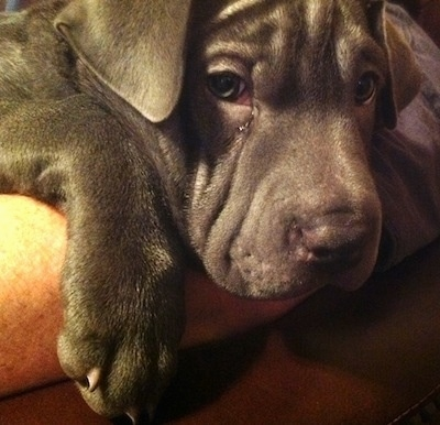 Close up - A gray Weim-Pei puppy is laying across a persons arm. The dog has small triangular ears that hang down to the sides and a wrinkly forehead.
