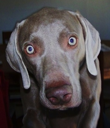 Close up - The face of a Weimaraner dog that is standing on a carpet and its silver eyes are wide open with long soft gray ears hanging down to the sides.