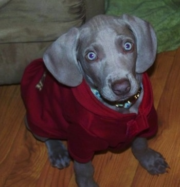 Topdown view of a Weimaraner puppy that is wearing a red coat and it is sitting on a hardwood floor. The dog has silver-blue eyes and long wide soft ears that hang down to the sides with a gray liver collared nose.