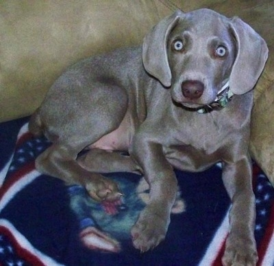 A Weimaraner puppy is laying on top of a blanket and laying against the back of a couch. It has wide round silver eyes and wide soft drop ears.
