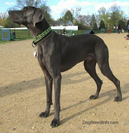 The left side of a dark gray, tall Weimaraner dog that is standing in dirt and it is looking up and to the left.