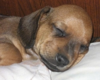 Close Up - Puppy sleeping on a blanket