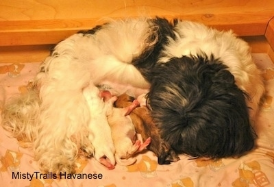 All the puppies nursing