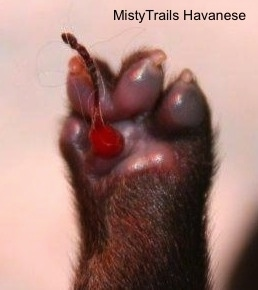 Close Up - Umbilical Cord on a puppy's paw