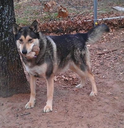 The left side of a thick coated black and tan German Shepherd/Malamute mix that is standing in a dirt yard next to a tree. It has a toy  in its mouth.