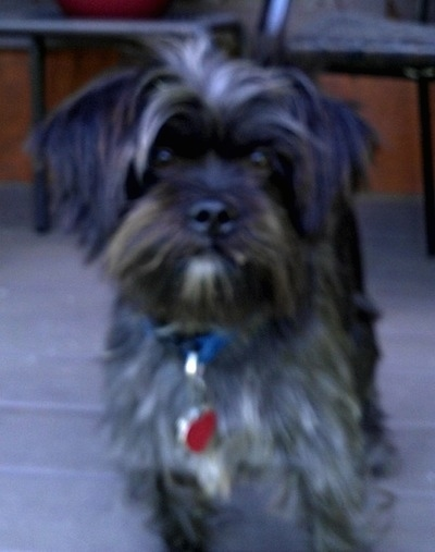 A long-coated, shaggy-looking gray small Affen Tzu standing on a porch