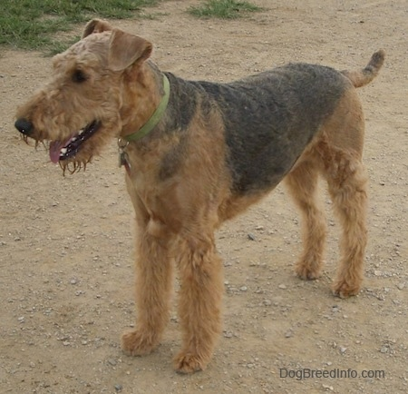 Airedale Terrier standing on dirt path