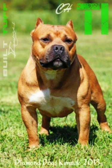 American Bully posing on grass
